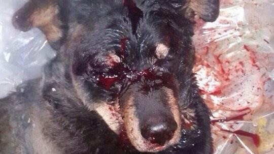 Соцсети требуют наказать водителя, избившего собаку в Новосибирске