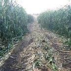 Полковник запаса: Заехал по нужде на поле — обвинили в краже кукурузы
