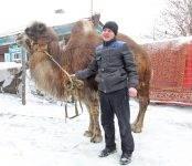 Бердская верблюдица Зара боится машин и любит карамельки