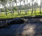 Смертельная «охота» на лосей под Бердском продолжается