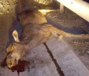 Третий лось погиб на трассе под Бердском за прошедшие две недели