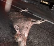 Фотофакт: На федеральной трассе под Бердском «Тойота» насмерть сбила лося