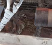 Трясогузка приспособилась выводить потомство в двигательном отсеке КамАЗа