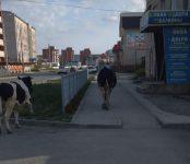 В Искитиме у ЗАГСа прогулялись бык и корова