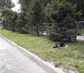 В центре Бердска авто сбил насмерть бездомного пса
