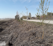 «Водозаборная» офлайн: Начали высаживать полосу снегозадержания жители Бердска